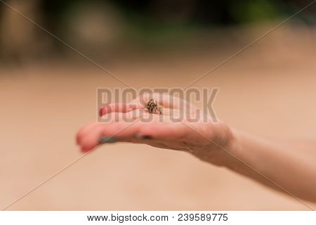 Young Sea Small Crab On Hand On A Blurred Background. Baby Crab In Hands. The Crab Live In Beach Of