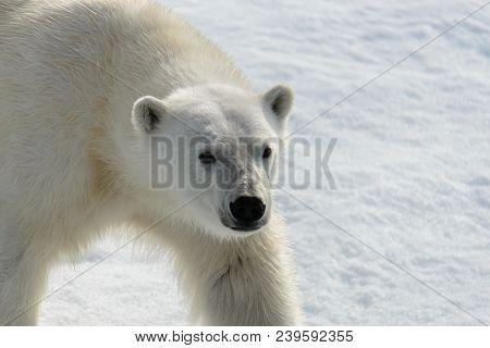 Polar Bear (ursus Maritimus) On The Pack  Ice North Of Spitsbergen Island, Svalbard, Norway, Scandin