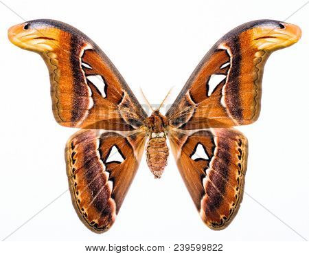 Attacus Atlas is a largest butterfly on the Earth when looked at wing area. This moth lives naturally in South East Asia. Isolated on white