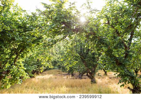 Filbert Trees Grow Storng In A Commercial Farm Orchard In Oregon Depsite Many Trees Getting Blight A