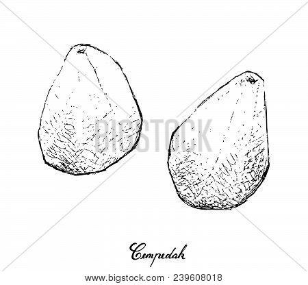 Tropical Fruit, Illustration Of Hand Drawn Sketch Cempedak Or Artocarpus Integer Fruits Isolated On