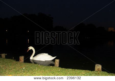 Swan At Night