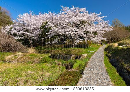 Wild spring full cherry blossom scene at the Yamanobe-no-michi Trail, Nara, Japan