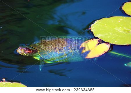 Turtle Swimming Around Lily Pads At A Koi Pond In A Zen Meditation Garden