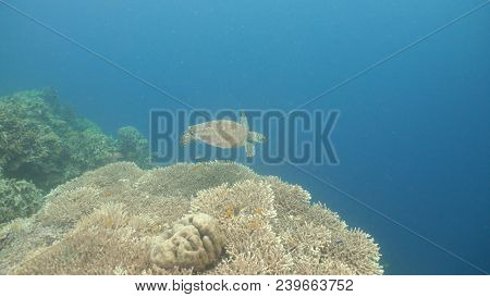 Sea Turtle Swimming Underwater Over Corals. Sea Turtle Moves Its Flippers In The Ocean Under Water.