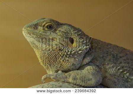 Closeup Photo Of A Bearded Dragon Basking Under Heat Lamp