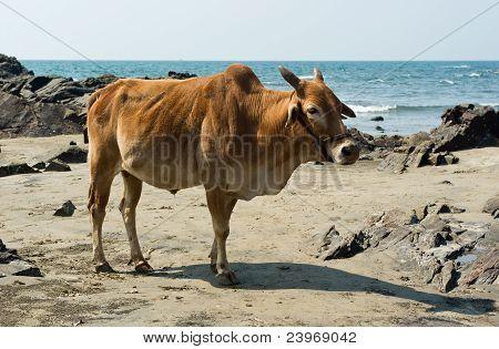 Cow In Beach