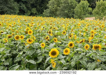 Field With Ripe Sunflowers At The Forest Edge
