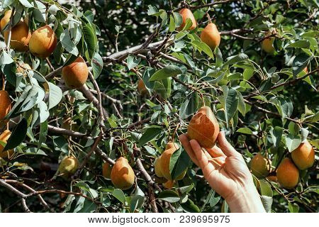 Pears. Picking A Pear On A Tree In The Garden. A Garden With A Pear Crop. Fresh Fruits. Organic Food