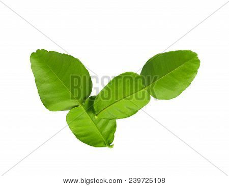 Bergamot Leaves On White Background Kaffir Organic