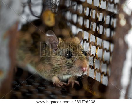 The Rat Was In A Cage Catching. The Rat Has Contagion The Disease To Humans Such As Leptospirosis, P