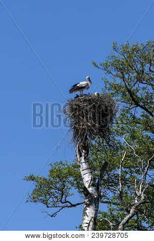 White Stork In His Nest On The Toop Of The Tree, Podlasie, Poland