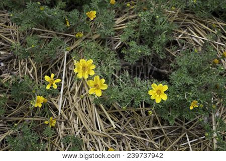 Mini Yellow Flower Bloom In Home Garden, Stock Photo