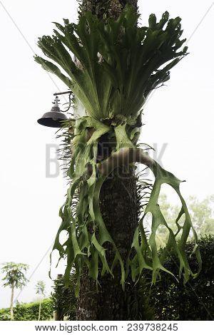 Holttum's Staghorn Fern On The Tree In The Garden