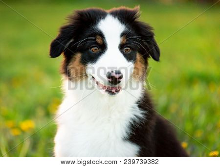Happy Aussie on meadow with green grass in summer or spring. Beautiful Australian shepherd puppy 3 months old - portrait close-up. Cute dog enjoy playing at park outdoors.