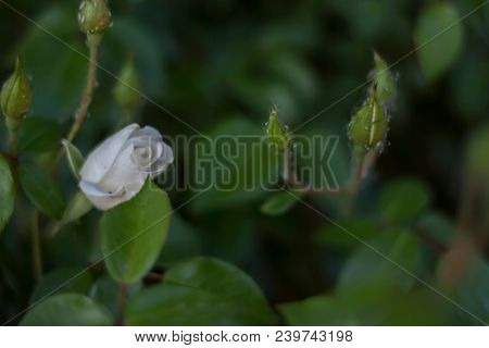 White rose bud against unopened rose buds and leaves, soft focus for a romantic feel