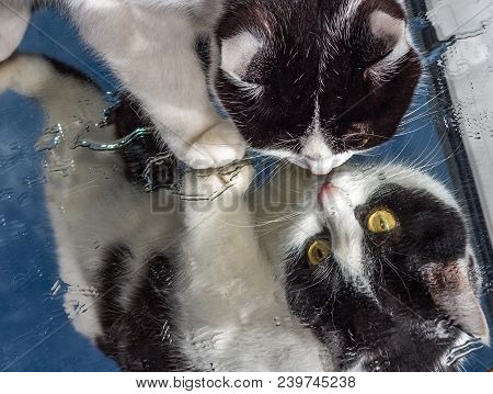 A Beautiful Adult Young Black And White Cat With Big Yellow Eyes And Pink Velvet Wet Nose Sits On A