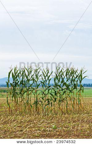 Single Row Of Corn In A Field