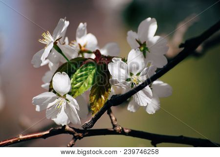 Beautiful Spring White Fragile Cherry Blossom Close Up On A Green Nature Blurred Background