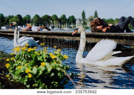 Couple Of Grace White Grace Swans On Alster Lake. Unrecognizable Couple Kissing On Pier In Backgroun