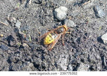 A Hornet On Wet Ground Close-up, An Insect In Nature In A Natural Environment, Sunny Spring Weather