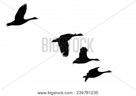 Four Silhouetted Canada Geese Flying On A White Background