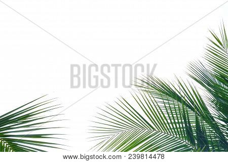 Top View Coconut Tree Leaves On White Isolated Background For Green Foliage Backdrop