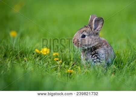 Cute Rabbit With Flower Dandelion Sitting In Grass. Animal Nature Habitat, Life In Meadow. European