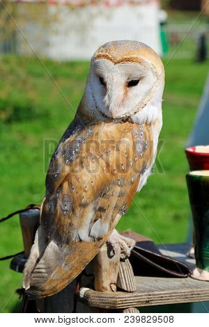 Photo Of An Beautiful Barn Owl, Owl-barn Owl Perched On A Wooden Table.