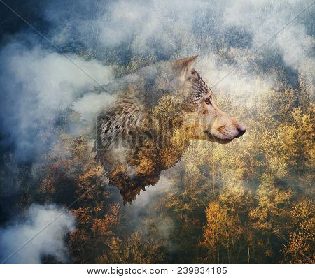 Photocollage: Head Of The Wolf On The Background Of Autumn Forest