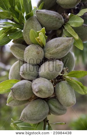 almonds in one branch