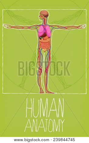 Human Body Organs Poster. Vetruvian Man Proportions And Display Of Organ Positions In Human Body. Hu