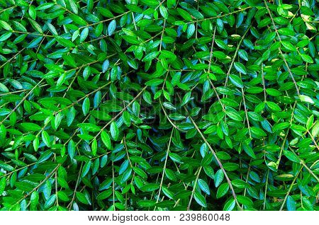 Green Leaves. Green Leaves Background Texture. Creative Layout Made Of Green Leaves. Flat Lay. Natur