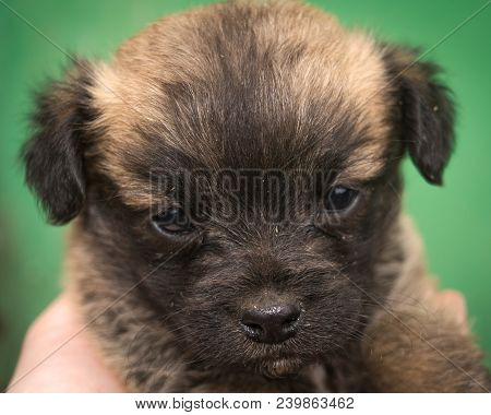 Little Puppy With Sad Eyes. Small Mongrel. Close-up Portrait.