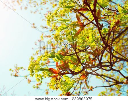 Spring Macro New Green Leaves.kidneys Blossom. Spring Has Come, The First Green. Nature Wakes Up. Di