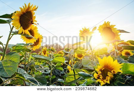 Bright Yellow, Orange Sunflower Flower On Sunflower Field. Beautiful Rural Landscape Of Sunflower Fi