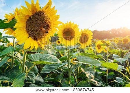 Bright Yellow, Orange Sunflower Flower On Sunflower Field. Beautiful Rural Landscape Of Sunflower Fi