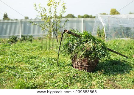 Fresh Grass In A Basket And Outdated Hand Tool - Scythe