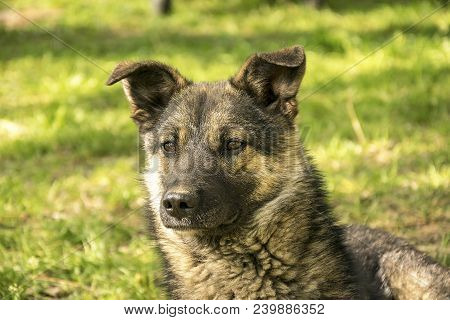 Outdoor Portrait Of Nice Black And Brown Color Mongrel Walking Outside. Cute Pet Interested In Somet