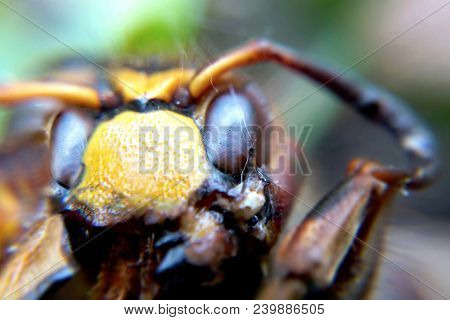 Hornet Macro Portrait Blurred Background, An Image Of An Insect Of Increased Size