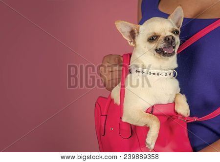 Pet, Companion, Friend, Friendship. Chihuahua Dog Smiling In Pink Bag. Protection, Alertness, Braver
