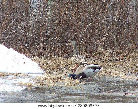 Mallard Duck Couple - Springtime By The Pond