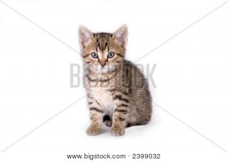 Striped Kitten Lying Down