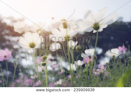Soft Focus Of White Cosmos (cosmos Bipinnatus) Flowers Focus In The Garden With  With Blurred Backgr