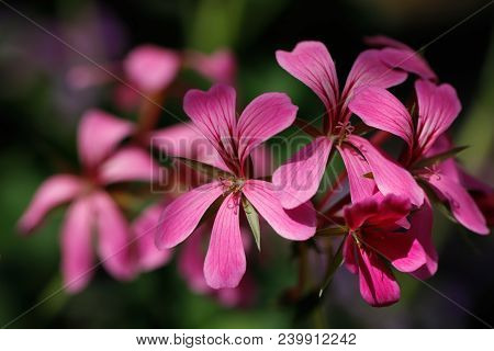 Close-up Of Pink Flowers On The Spring Meadow. Photography Of Nature.