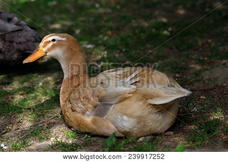 Full Body Of Brown Domestic Duck In The Garden