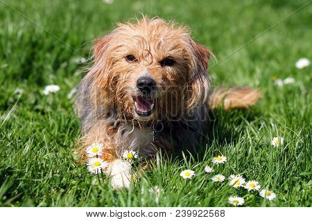 A Scruffy Mongrel Terrier Type Dog Lying In Grass And Daisies Whilst Panting