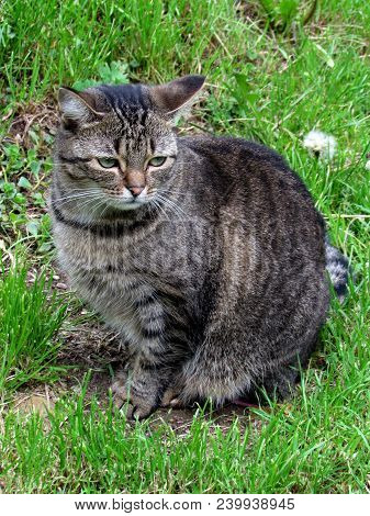 Young Tabby Cat Sitting On Summer Green Meadow, Animal Photo