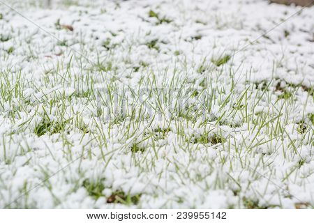 I Fell Down On The Green Grass. Snow Fell On The Green Grass. First Snow. Early Snow.