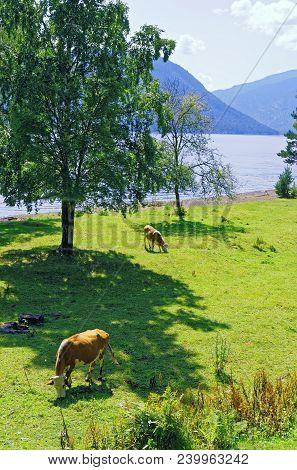 Cows Graze In An Environmentally Friendly Environment.siberia, The Shore Of Lake Teletskoye